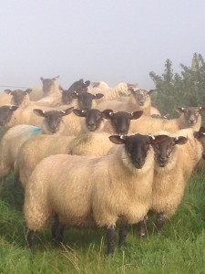 Suf x ewe lamb2